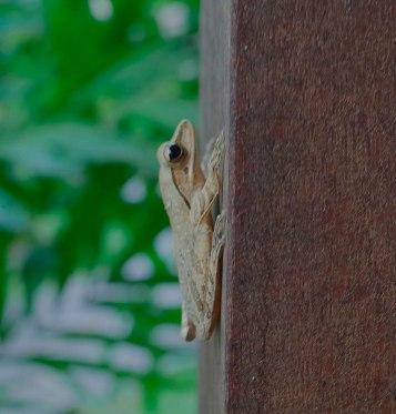 halfnhalf frog